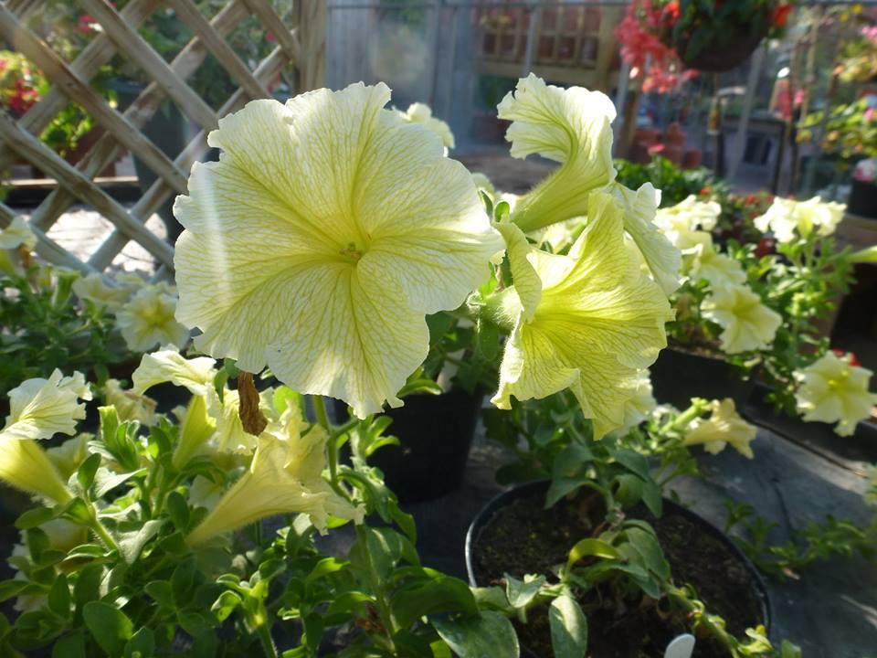 flowers_yellow